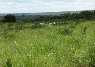 São Carlos: Fazenda de dupla aptidão em Canarana - MT (6155) 4
