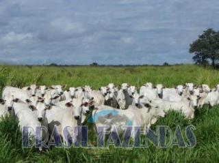 Eunápolis: Fazenda no Pará.72 mil hectares na pecuária 8