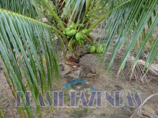 Eunápolis: fazenda na Bahia. Coco 1