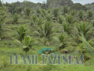 Eunápolis: fazenda na Bahia. Coco 12