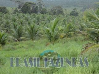 Eunápolis: fazenda na Bahia. Coco 13