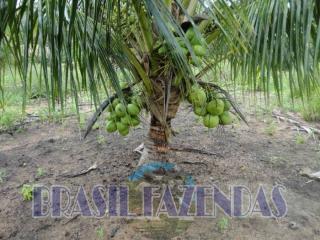 Eunápolis: fazenda na Bahia. Coco 14