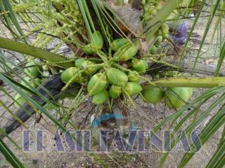 Eunápolis: fazenda na Bahia. Coco 2