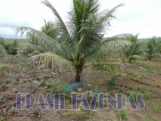 Eunápolis: fazenda na Bahia. Coco 5
