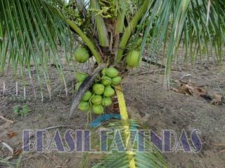Eunápolis: fazenda na Bahia. Coco 6