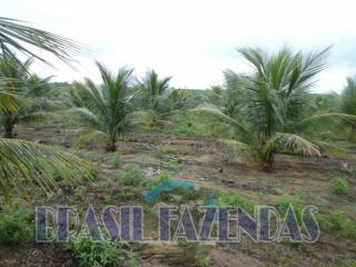 Eunápolis: fazenda na Bahia. Coco 7