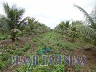 Eunápolis: fazenda na Bahia. Coco 8